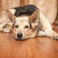 Отдам  красивого пса похожего на овчарку, Новосибирск
