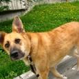 Собака Лайма в добрые руки, Новосибирск