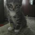 Продам котят, курильский бобтейл, Новосибирск