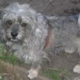Потерялся маленький серый лохматый пёсик ., Новосибирск