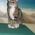 Кот для вязки. Курильский бобтейл, Новосибирск