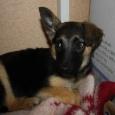 отдается стерилизованная девчушка (щенок), Новосибирск