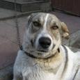 Отдам в добрые руки прекрасного сторожа (собака), Новосибирск