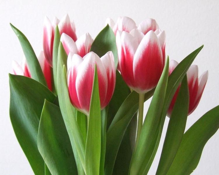 В архиве тюльпаны к 8 марта