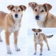 Отличный рыженький щенок-подросток в дар добрым людям, Новосибирск