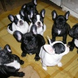 продам щенков французского бульдога, Новосибирск