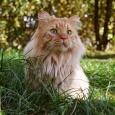 Кот для вязки, Новосибирск