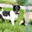 Две собачульки-выбражульки Феня и Капа!, Новосибирск
