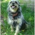 отдается Маленькая собачка Шнурок, Новосибирск