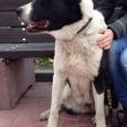 Собака Азиатка в хорошие руки!, Новосибирск