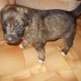 отдается щенок, Новосибирск