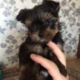 мини йорк (собака), Новосибирск