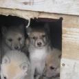 Продам щенков Западносибирской лайки, Новосибирск