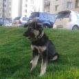 Собака метис овчарки в добрые руки, Новосибирск