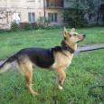 Собака, похожая на овчарку, Новосибирск