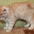 Продается котёнок курильского бобтейла, Новосибирск