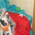 Продам собаку девочку Французика, Новосибирск