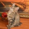 Продаются очаровательные котята породы Курильский бобтейл!, Новосибирск