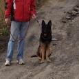 Собака немецкая овчарка кобель 3 года в хорошие руки, Новосибирск