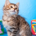 Курилочки с родословной (кошка), Новосибирск