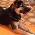Отдам в хорошие руки щенка, Новосибирск