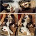 Последние 2 котенка от бобтейла, Новосибирск