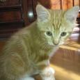котенок курильского бобтейла, Новосибирск