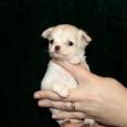 Длинношерстный мини мальчик, щенок чихуахуа, Новосибирск