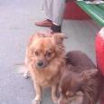 отдаются маленькие собачки, Новосибирск