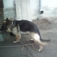 Отдам в хорошие руки собаку, Новосибирск