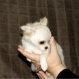 Перспективная длинношерстная девочка, документы РКФ, щенок чихуахуа, Новосибирск