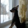 охранный пёс Хаммер, Новосибирск