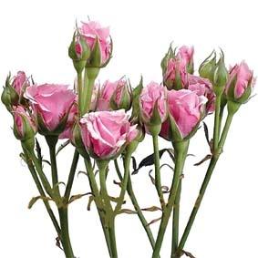 Кустовая роза розовая - Доставка цветов, букетов, подарков.  Студия флористики 1-ая Цветочная точка.