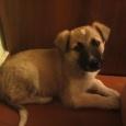 отдается самый веселый щенок, Новосибирск