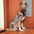 Малыш щенок в поисках самых лучших хозяев!, Новосибирск