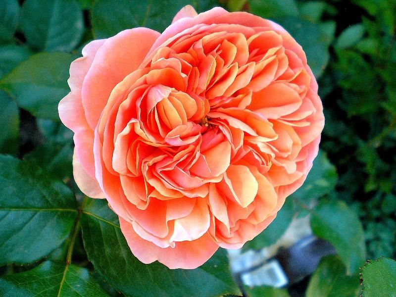 Роза плетистая вестерленд 3