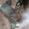 Отдам в хорошие руки котят курильского бобтейла, Новосибирск