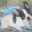 Продам щенка Французского Бульдога, Новосибирск