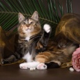 Кошка Lorentsia bobby tail's. Национальное достояние!, Новосибирск