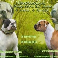 Элитные щенки американского бульдога, Новосибирск