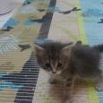 Отдадим котят курильского бобтейла, Новосибирск