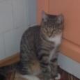 Отдам в хорошие руки котика курильского бобтейла, Новосибирск
