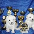 Бишончики, щенки, Новосибирск