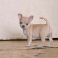 Чихуахуа Экселент Лайон, щенок, Новосибирск