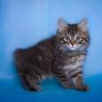 Шикарные котята Курильского бобтейла, Новосибирск