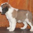 Продам щенков сенбернара, Новосибирск
