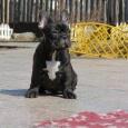 Отличный щенок французского бульдога, кобель тигрового окраса, Новосибирск