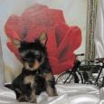 Красивые щенки йоркширского терьера!, Новосибирск
