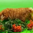 Кошечка-кокетка курильского бобтейла из питомника, Новосибирск