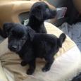 очаровательные щенки черныши в дар, Новосибирск